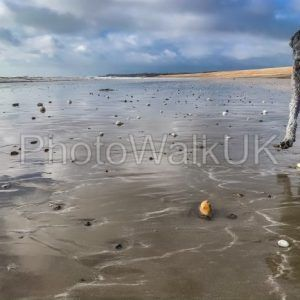 Young silver poodle on a wet sandy beach - Photo Walk UK