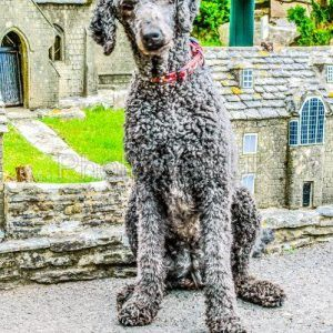 Giant Poodle in Model Village - Photo Walk UK