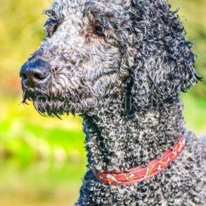 Perfect Poodle Portrait - Photo Walk UK