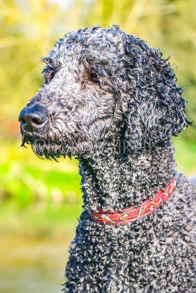 Perfect Poodle Portrait - Photo Walk UK