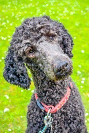 Poodle turning head and listening - Photo Walk UK