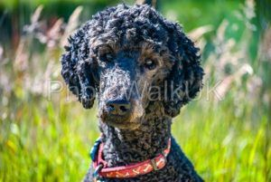Portrait of a standard poodle head and shoulders - Photo Walk UK