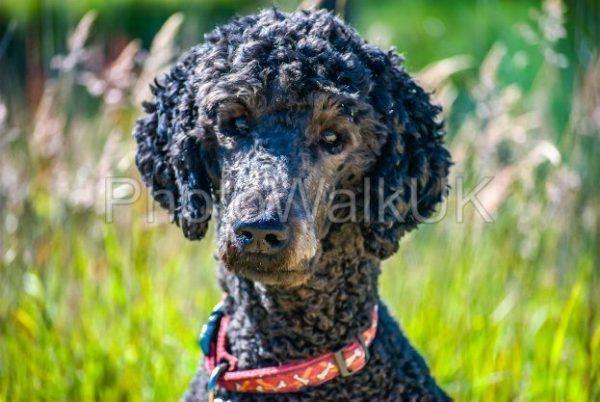 Portrait of a standard poodle head and shoulders - Photo Walk UK