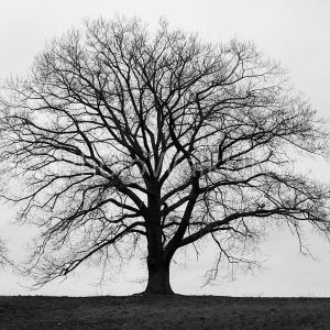 Silhouette of large tree in monochrome with grey winter skies - Photo Walk UK