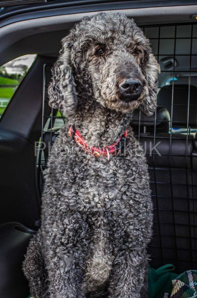 Standard Poodle Looking out of car - Photo Walk UK