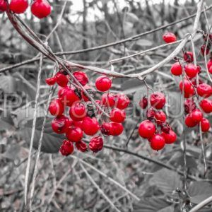 Red winter berries against a monochrome background - Photo Walk UK