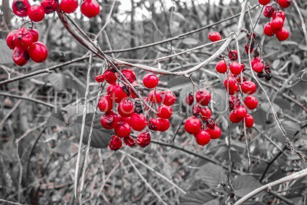 Red winter berries against a monochrome background