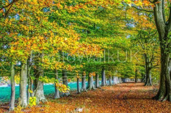 Row of English beech trees in autumn - Photo Walk UK