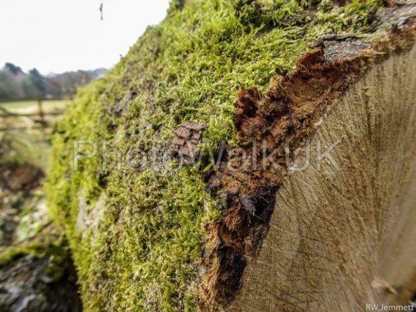 Moss covered felled tree - Photo Walk UK